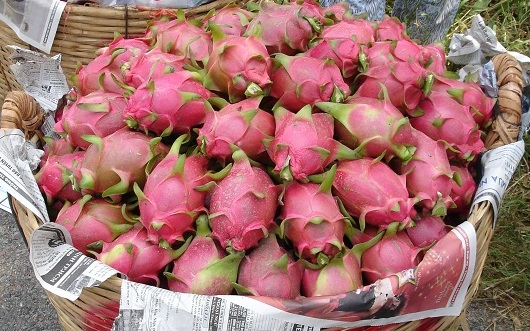 Dragon Fruit Cultivation Information Guide Agri Farming