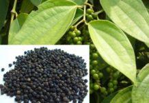 Growing Black Pepper.