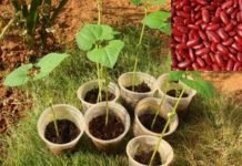 Growing Kidney Beans.
