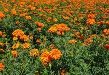 Growing Marigold Flowers.