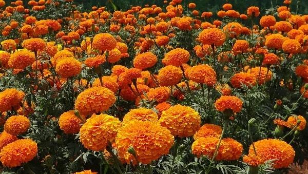 Marigold Crop.
