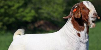 boer goat farming pdf - Agri Farming