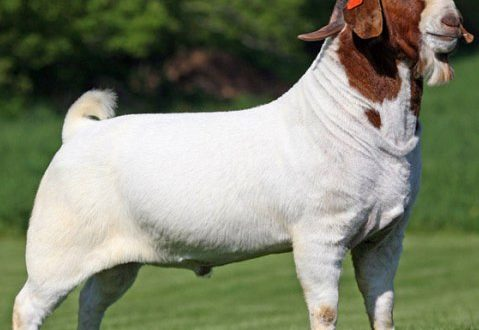 Boer Goat Breed Profile Information Guide | Agrifarming.in - photo#4