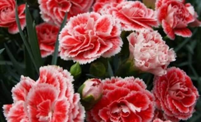 Carnation Cultivation in Greenhouse