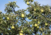 Growing Pear Fruits.