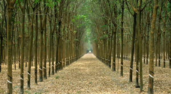 Rubber Plantation Information Guide Agri Farming