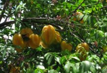 Growing Star Fruits.