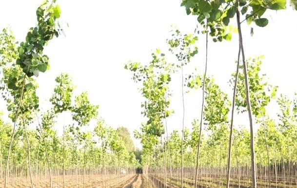 Poplar Tree Farming Information Guide | Agri Farming