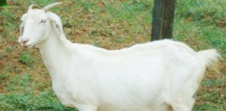tellicherry goat farm project report - Agri Farming