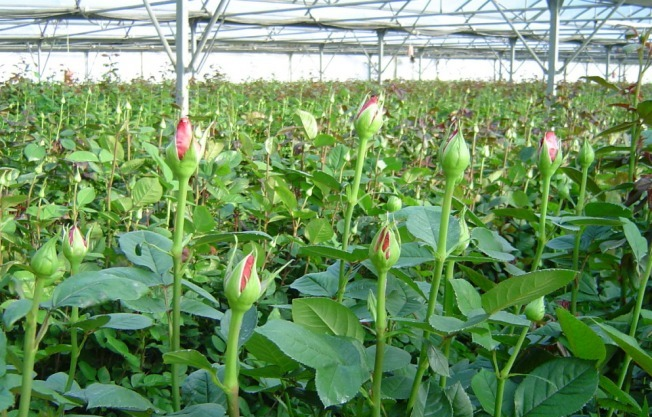 Rose Cultivation in Greenhouse