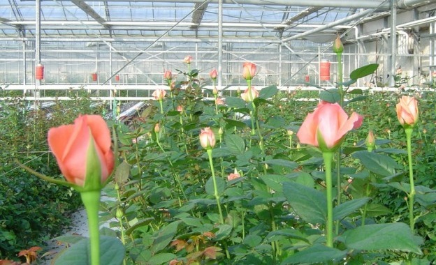Rose Plantation in Greenhouse