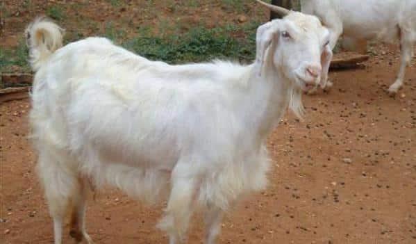 Tellicherry Goat Profile Info Guide | Agri Farming