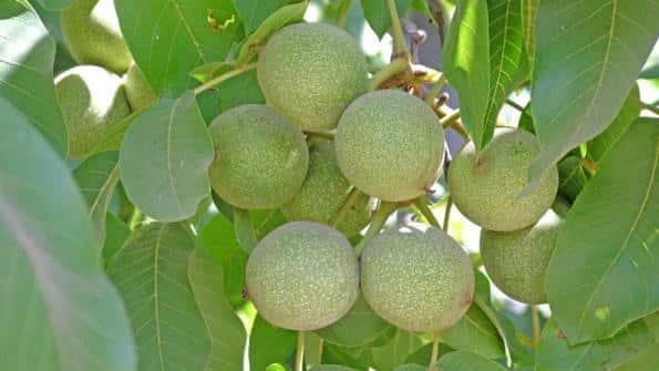 Walnut Farming Information Guide | Agri Farming