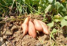 Growing Sweet Potato.