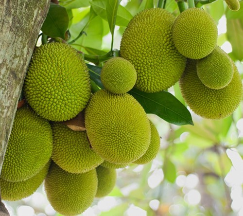 jackfruit farming information guide agri farming