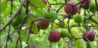 kokum cultivation in kerala - Agri Farming
