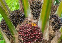 Oil Palm Tree.