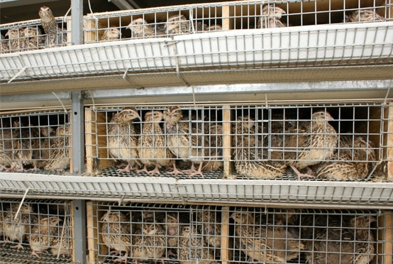 Quail Farming Information Guide Agri Farming