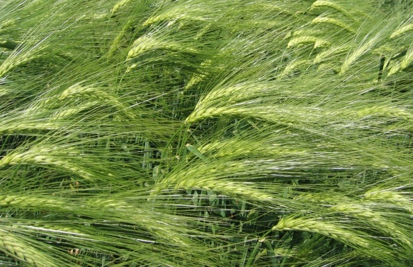 Barley Cultivation