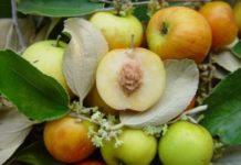 Ber Fruit (Indian Jujube).