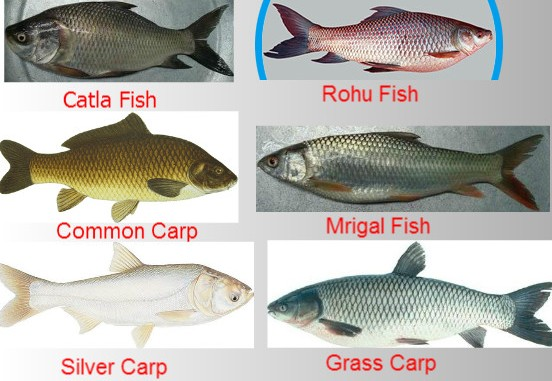 Composite Fish Culture Information Guide | Agri Farming