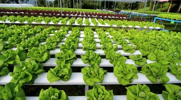 an introduction to hydroponics soilless agriculture Hydroponics is a technology for growing plants in nutrient solutions (water containing fertilizers) with or without the use of an artifi cial medium (sand, gravel, vermiculite, rockwool, perlite, peatmoss coir, or sawdust) to provide mechanical support.