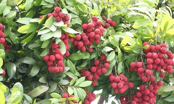 Image result for lychee tree  in india