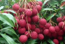Litchi Fruit Tree.