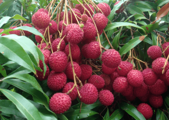 litchi fruit farming information guide  agrifarming.in, Natural flower