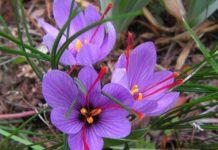 Saffron Plant.