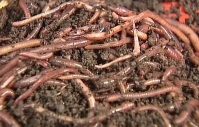 Earthworms Castings
