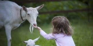 beetal goat olx - Agri Farming