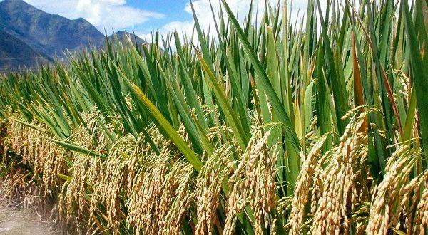 ZEE Rice Urgent Recruitment in Nigeria