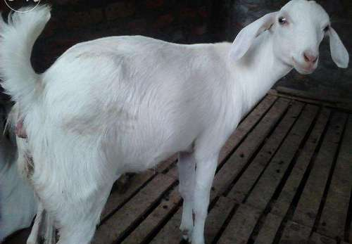 Indian Goat Breeds Information Guide | Agri Farming