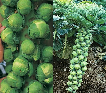 Brussel Sprout Farming