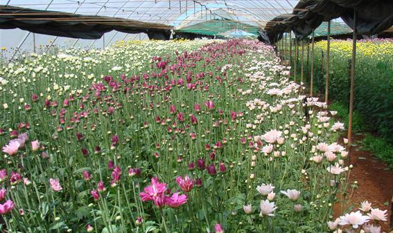 Chrysanthemum Flower Cultivation in Polyhouse