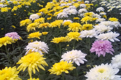 Chrysanthemum Flowers (High Yield Variety)