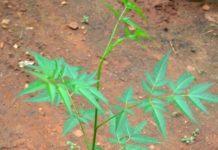 Malabar Neem Plant.