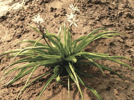 Safed Musli Cultivation