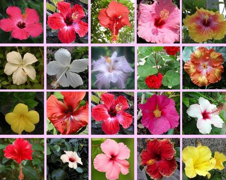 Hibiscus Cultivation Information Guide Agri Farming
