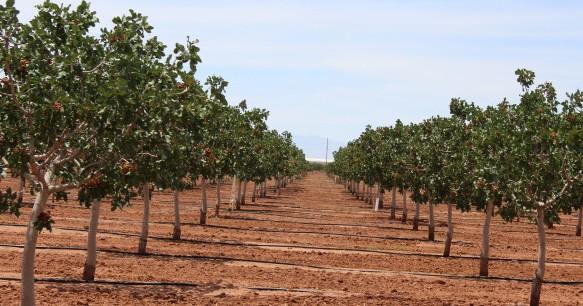 Pistachio Cultivation Information Guide Agrifarming In