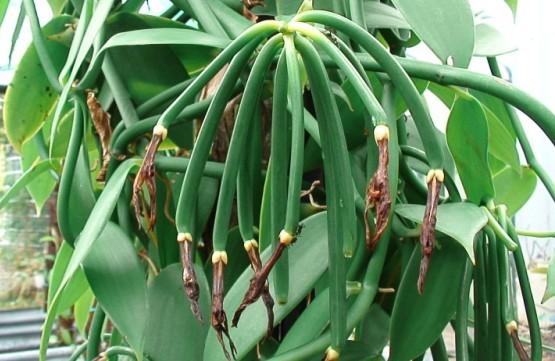 Vanilla Cultivation Information Guide | Agri Farming