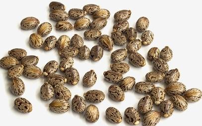 Castor Seeds.