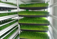 Green Fodder Growing in Hydroponics.