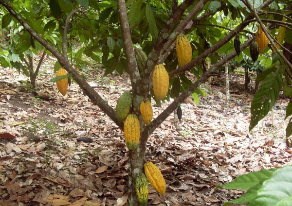 Cocoa cultivation information guide agri farming cocoa cultivation sciox Image collections