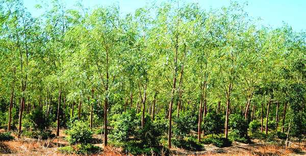 Sandalwood Cultivation Information Guide Agri Farming