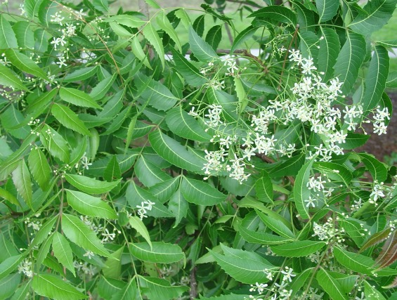 What Is Neem Seed Cake