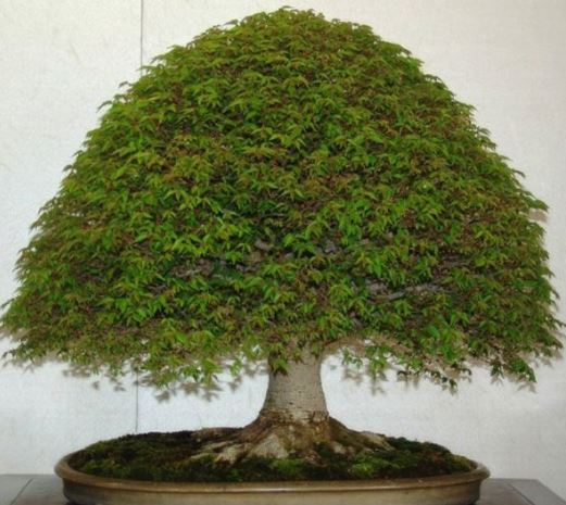 Bonsai Tree Growing For Beginners | Agri Farming