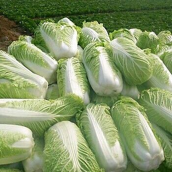 Harvested Chinese Cabbage.