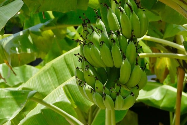 Banana Tissue Culture Information Guide For Beginners | Agri Farming